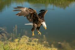 Landung des kahlen Adlers Stockfotos