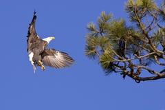 Landung des kahlen Adlers im Baum. Stockbilder