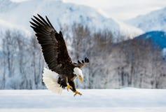 Landungs-Erwachsen-Weißkopfseeadler Stockfoto