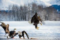 Landungs-Erwachsen-Weißkopfseeadler Stockbild