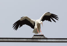 Landungs-Storch Stockbild