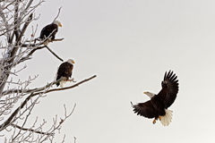 Landungsweißkopfseeadler Lizenzfreie Stockfotografie