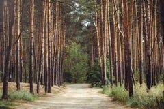 Landweg aan de bomen van de pijnboom bos, hoge pijnboom Royalty-vrije Stock Fotografie