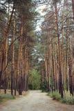 Landweg aan de bomen van de pijnboom bos, hoge pijnboom Stock Afbeelding