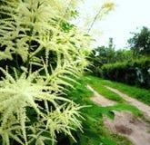 Landweg onder witte bloemen Royalty-vrije Stock Afbeeldingen