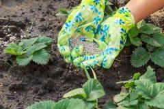 Landwirt übergibt das Geben des Mineraldüngers zu den jungen Erdbeeren pl Lizenzfreies Stockfoto