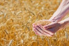 Landwirt übergibt Holding reife Weizenkörner Lizenzfreie Stockfotografie