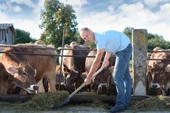 Landwirt arbeitet an Bauernhof mit Milchkühen Lizenzfreies Stockfoto