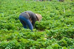 Landwirt auf dem Erdbeer-Gebiet an Aden-Bauernhof, Montag-Stau, Chiang Mai - Nord-Thailand Lizenzfreie Stockfotografie