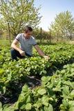 Landwirt auf dem Erdbeergebiet Stockfotos