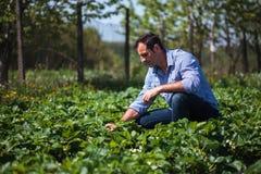 Landwirt auf dem Erdbeergebiet Lizenzfreie Stockfotografie