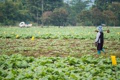 Landwirt auf dem Tabakgebiet Lizenzfreie Stockfotografie