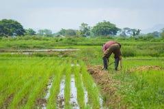Landwirt auf dem ungeschälten Reis Lizenzfreie Stockfotografie