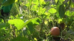 Landwirt befruchten Kürbisgemüse im Bauernhof mit Sprüherwerkzeug 4K stock footage
