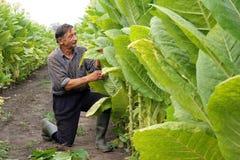 Landwirt betrachtet Tabakblätter Stockfoto