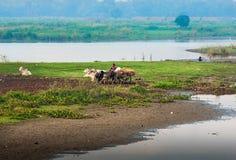 Landwirt, der auf dem Gebiet mit Wasserbüffel arbeitet Stockfotos