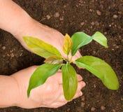 Landwirt, der Avocadobaum pflanzt stockfotos