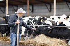 Landwirt, der an Bauernhof mit Milchkühen arbeitet Stockfoto