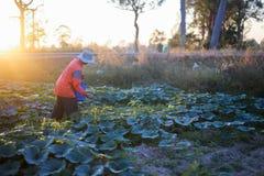 Landwirt, der Düngemittel und Wasser zum Kürbis gibt Stockfotos