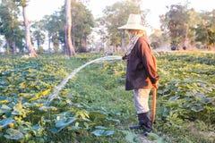 Landwirt, der Düngemittel und Wasser zum Kürbis gibt Lizenzfreie Stockfotografie