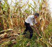 Landwirt, der den Mais mit dem erntenden Haken schneidet Stockbilder