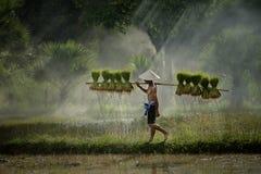 Landwirt, der den Reissämling für Plantage hält Stockbilder