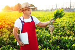 Landwirt, der die Qualität der Zuckerrüben überprüft stockbild