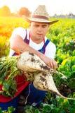 Landwirt, der die Qualität der Zuckerrüben überprüft lizenzfreie stockfotos