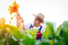 Landwirt, der die Qualität der Zuckerrüben überprüft stockbilder