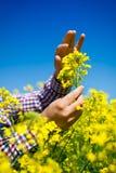 Landwirt, der die Qualität des Rapssamens überprüft stockfoto