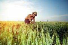 Landwirt, der die Qualität des Weizens mit Lupe überprüft stockfoto