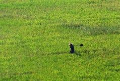 Landwirt, der durch ein Weizenfeld geht Lizenzfreies Stockfoto