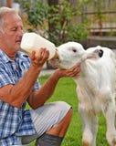 Landwirt, der eine Babyweißkuh einzieht Stockfotografie