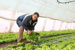 Landwirt, der in einem Gewächshaus arbeitet Lizenzfreie Stockfotos