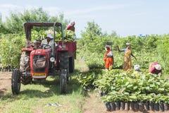 Landwirt, der Ertrag sammelt Stockfoto