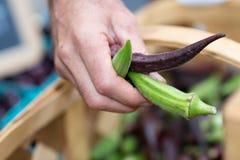 Landwirt, der essbaren Eibisch hält Stockfotografie