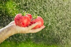 Landwirt, der frische Tomaten hält Halten von Tomaten in den Händen unter den Regentropfen Lizenzfreie Stockbilder