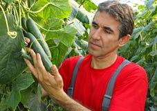 Landwirt, der Gurke überprüft Lizenzfreies Stockfoto