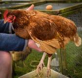 Landwirt, der Huhn hält Stockbilder