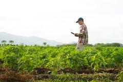 Landwirt, der junge Ernte auf dem bebauten Gebiet überprüft lizenzfreies stockbild
