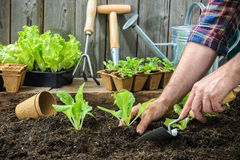 Landwirt, der junge Sämlinge pflanzt Lizenzfreies Stockfoto