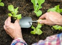 Landwirt, der junge Sämlinge pflanzt Lizenzfreie Stockbilder