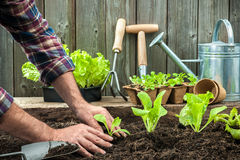 Landwirt, der junge Sämlinge pflanzt stockbilder