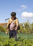 Landwirt, der Kartoffeln neigt Stockfotografie