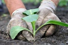 Landwirt, der Kohlsämling pflanzt Stockfotografie