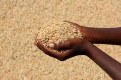 Landwirt, der Korn hält Stockbild
