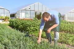 Landwirt in der Landwirtschaft, die Gemüse - Gewächshäuser im Th anbaut lizenzfreie stockfotos