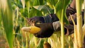 Landwirt, der Mais auf dem Stamm abzieht und mit sonnigem ausbricht stock video footage