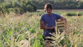 Landwirt, der Mais am Feld organischen eco Bauernhofes erntet stock video