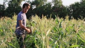 Landwirt, der Mais am Feld organischen eco Bauernhofes erntet stock footage